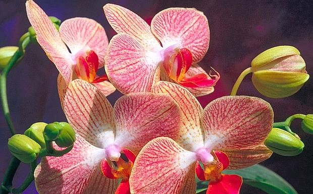 orchidee--620x385